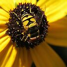 Hoverfly on Blackeyed Susan Macro by Ron Russell