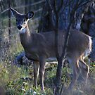 Young Deer by swaby
