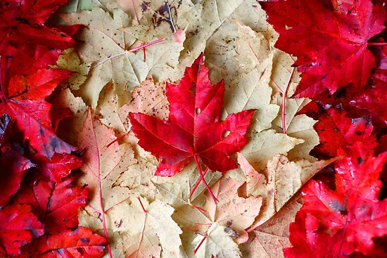 Maple Leaves by Mark Theriault