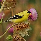 Gold Finch on Thistle by Sandy Keeton