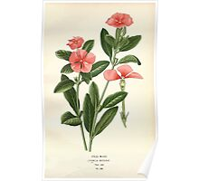 Favourite flowers of garden and greenhouse Edward Step 1896 1897 Volume 3 0083 Old Maid Poster