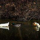 Ducks, Ducks and more Ducks! by charlie murray