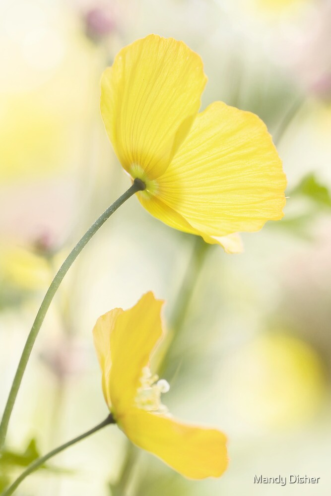 Pastel poppies by Mandy Disher