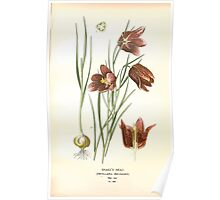 Favourite flowers of garden and greenhouse Edward Step 1896 1897 Volume 4 0207 Snake's Head Poster