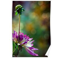 A pink flower and bud taking it all in Poster