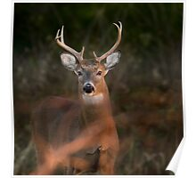 White Tailed Deer Buck Poster