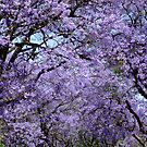 Jacaranda canopy. Johannesburg, South Africa. by Fineli