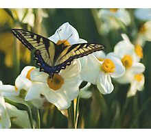 Swallowtail and daffodils Photographic Print
