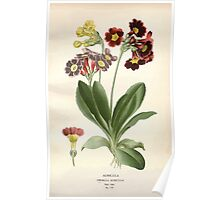 Favourite flowers of garden and greenhouse Edward Step 1896 1897 Volume 3 0062 Auricula Poster