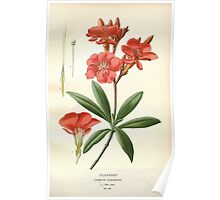 Favourite flowers of garden and greenhouse Edward Step 1896 1897 Volume 3 0086 Oleander Poster