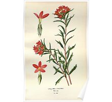 Favourite flowers of garden and greenhouse Edward Step 1896 1897 Volume 3 0107 Collomia Coccinea Poster