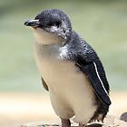 White-flippered penguin by Mary Trebilco