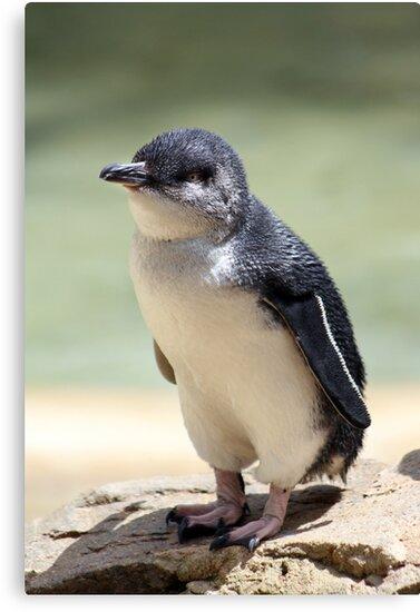White-flippered penguin by Mary Trebilco
