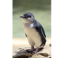 White-flippered penguin Photographic Print