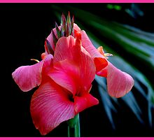 Pink Canna Lily  >> by JuliaWright