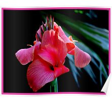 Pink Canna Lily  >> Poster