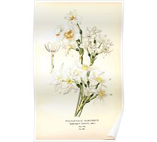 Favourite flowers of garden and greenhouse Edward Step 1896 1897 Volume 4 0115 Polyanthus Narcissus Poster