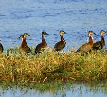 A flock of white -faced whistling ducks by jozi1
