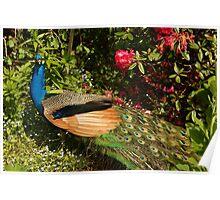 Pretty Peacock Poster
