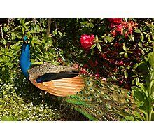 Pretty Peacock Photographic Print