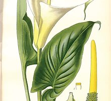Favourite flowers of garden and greenhouse Edward Step 1896 1897 Volume 4 0255 Trumpet or Arum Lily by wetdryvac