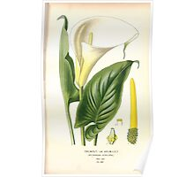 Favourite flowers of garden and greenhouse Edward Step 1896 1897 Volume 4 0255 Trumpet or Arum Lily Poster