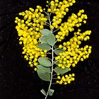 Wattle, flower scan. by Kirsten Spry