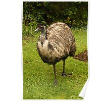 Old Man Emu Poster