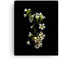 Chamelaucium uncinatum (Geraldton Wax). Flower scan. Canvas Print