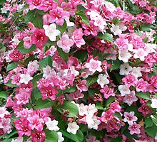 A Carnival Weigela by WalnutHill