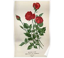 Favourite flowers of garden and greenhouse Edward Step 1896 1897 Volume 2 0016 Monthly Rose Poster
