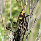 Horse Lubber Grasshopper by Kimberly Chadwick