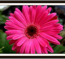 Pink Gerbera Daisy by kkphoto1