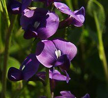 Hardenbergia violacea, Happy Wanderer by Emma Sterling
