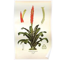 Favourite flowers of garden and greenhouse Edward Step 1896 1897 Volume 4 0083 Tillandsia Splendens Poster