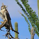 Prairie Falcon ~ Picture Perfect by Kimberly Chadwick