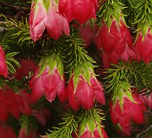 Darwinia oxylepis, Gillham's Bell by Emma Sterling