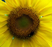A Sunflower by WalnutHill