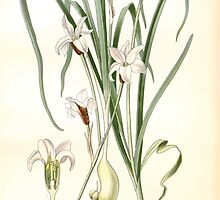 Favourite flowers of garden and greenhouse Edward Step 1896 1897 Volume 4 0175 Triplet Lily by wetdryvac
