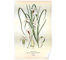 Favourite flowers of garden and greenhouse Edward Step 1896 1897 Volume 4 0175 Triplet Lily Poster