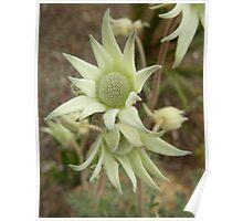Actinotus helianthi, Flannel Flower Poster