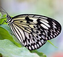 Chilasa Clytia (Mime) Butterfly by Stormygirl