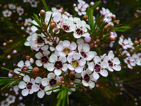 Chamelaucium uncinatum, Geraldton Wax by Emma Sterling