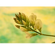 White Milkvetch Wild Flower Macro Photographic Print