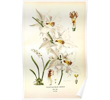Favourite flowers of garden and greenhouse Edward Step 1896 1897 Volume 4 0039 Odontoglossum Crispum Poster