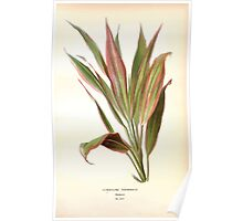 Favourite flowers of garden and greenhouse Edward Step 1896 1897 Volume 4 0167 Cordyline Terminalis Poster