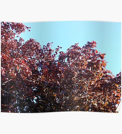 Japanese Maple Tree Poster
