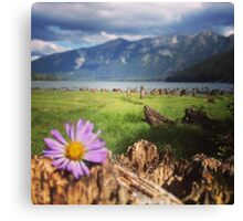 Purple Daisy in a Field of Stumps  Canvas Print