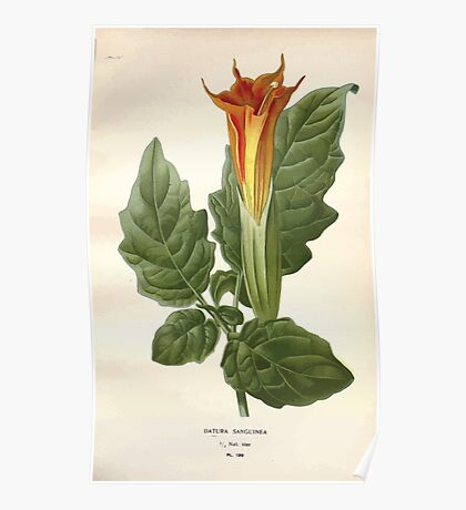 Favourite flowers of garden and greenhouse Edward Step 1896 1897 Volume 3 0140 Datura Sanginea Poster