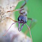 Inch Ant by Robert Sturman
